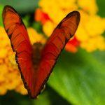 Julia Butterfly (Dryas Iulia) – Ltd Ed Print