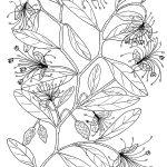 Plant 179 – Nipan (also known as Split-Jack) – Capparis lathiantha or Capparis lasiantha