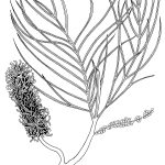 Ltd Ed Print Fern-leafed Grevillea – Grevillea pteridifolia