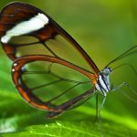 Glasswinged Butterfly (Greta Oto) – Ltd Ed Print