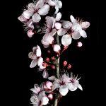 Cherry Blossoms Still Life