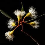 Australian Yellow Gum Blossoms Photography Print